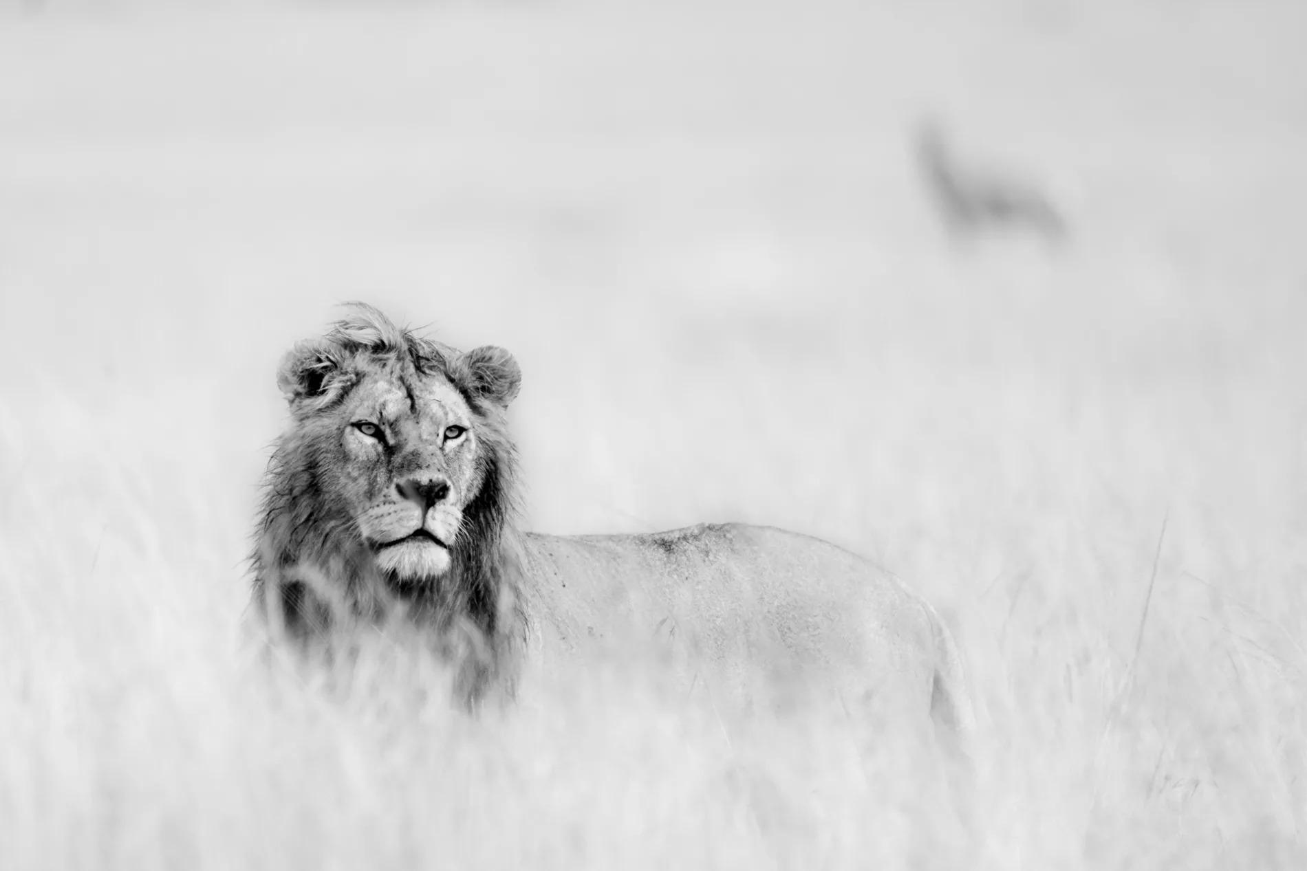 High Key Male Lion