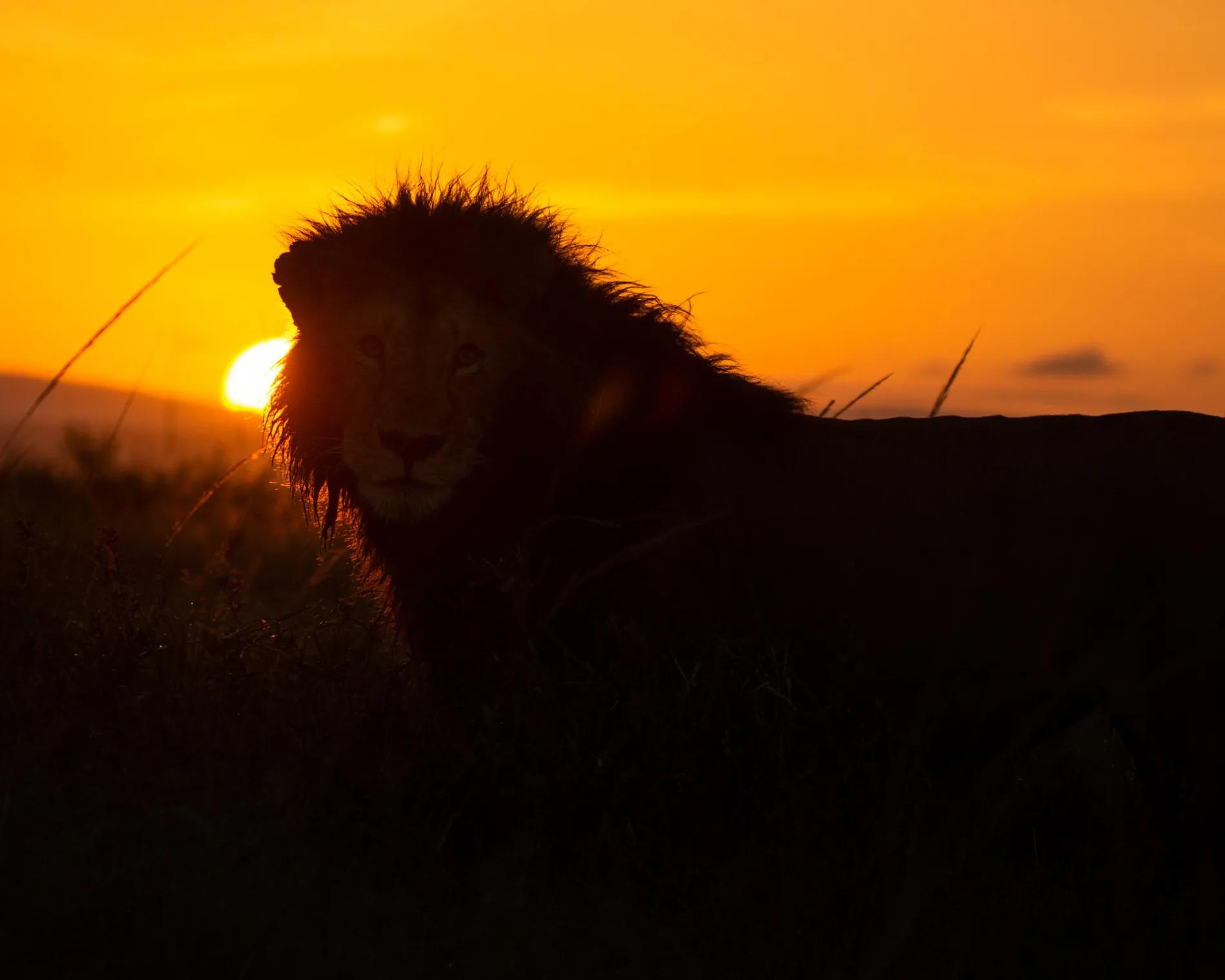 Male Lion in sunrise