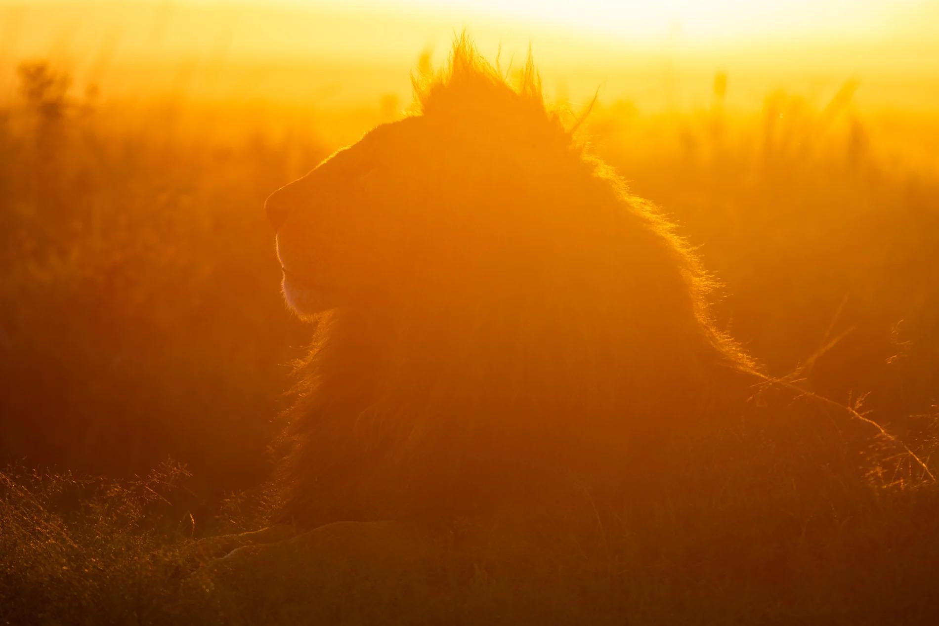 Male Lion in sunrise 2