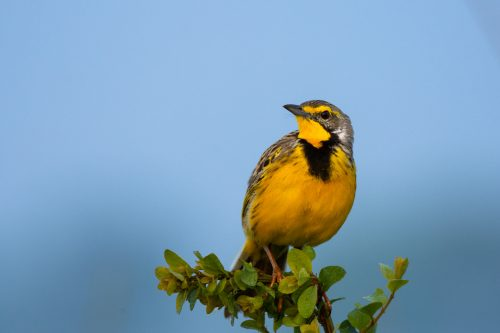 A yellow-throated longclaw