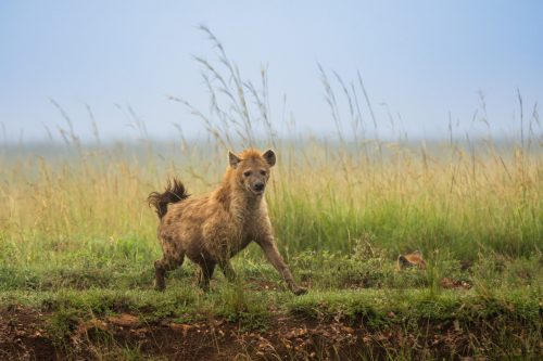 One of the twenty Hyena's lurking in the background