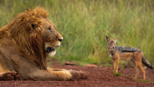 A large male lion guards the hippo carcass, while a cautious jackal attempts a bite