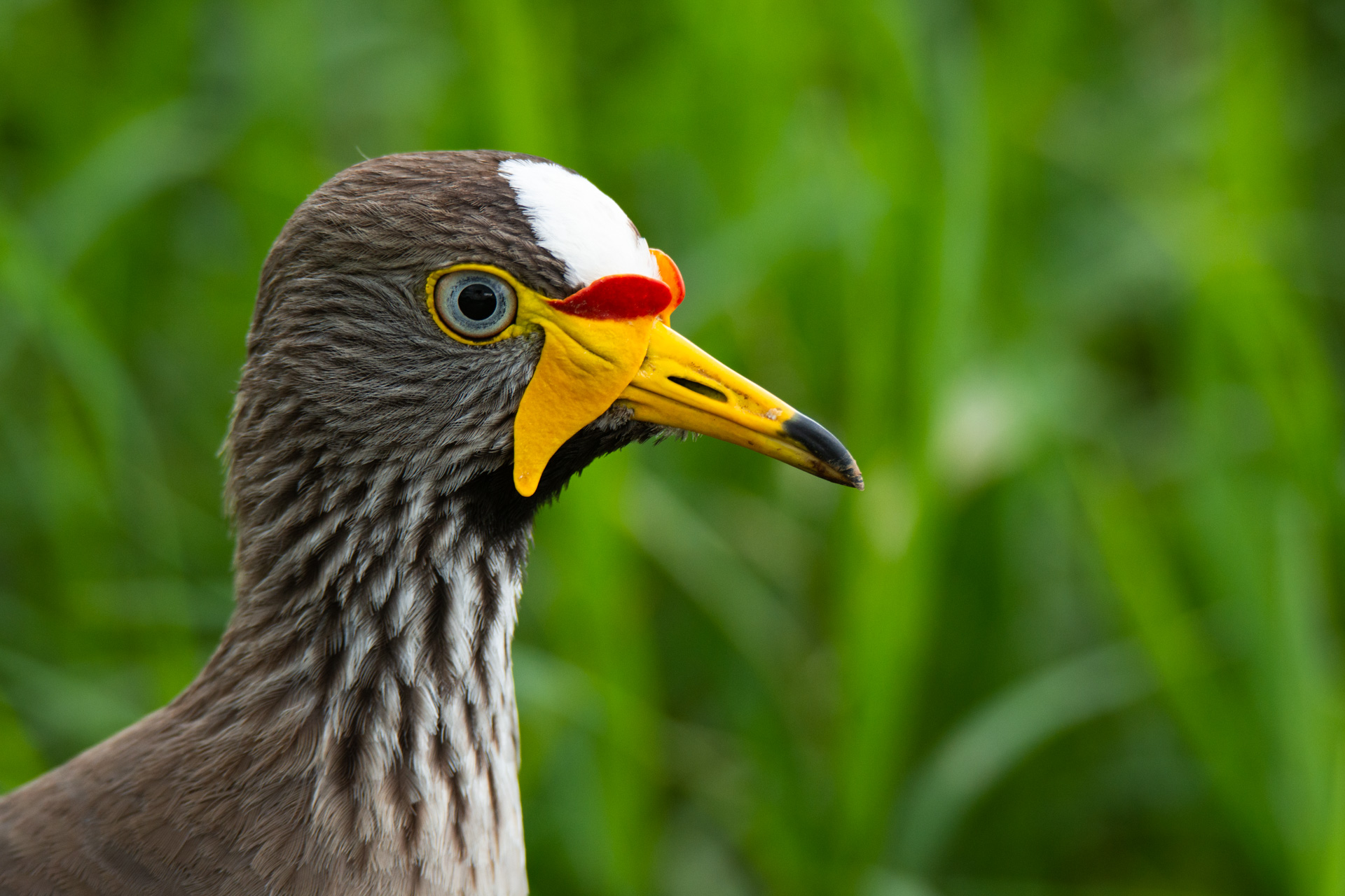 wattled plover close up