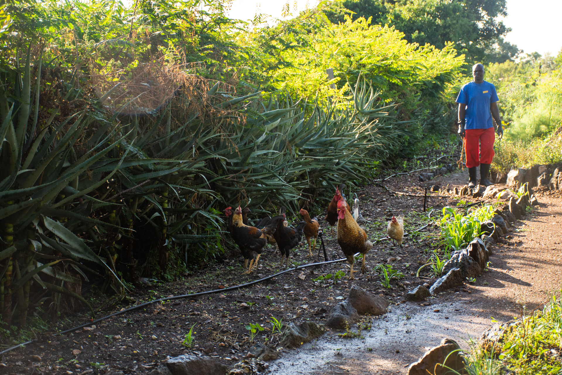 Chickens looking for worms