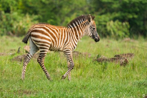 A baby zebra with an almost entirely black face