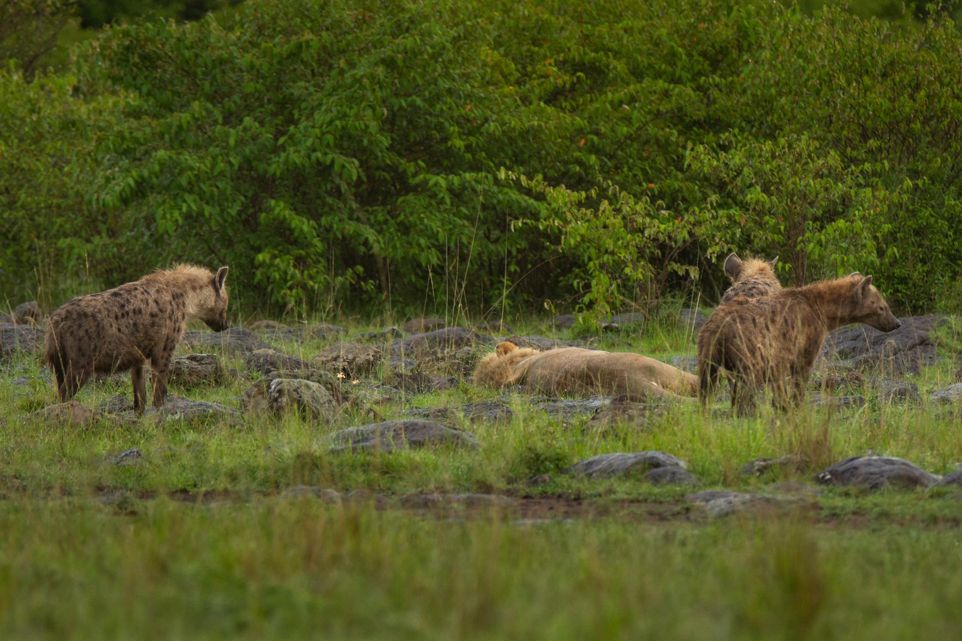 Hyena and lion
