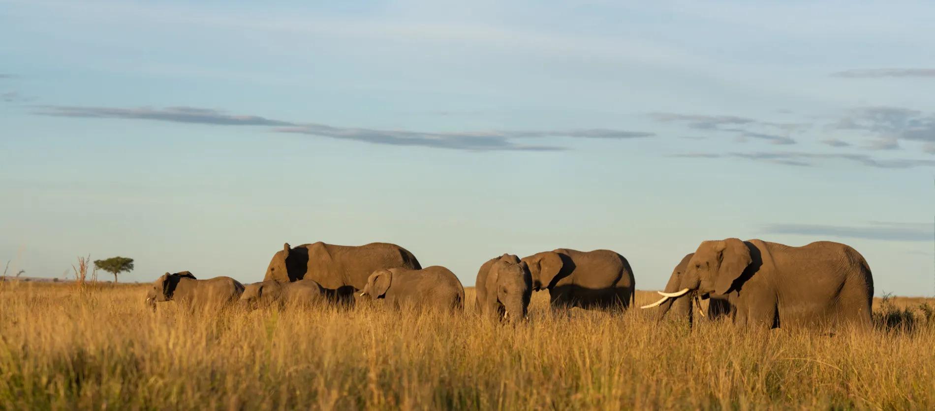 Elephants-Pano