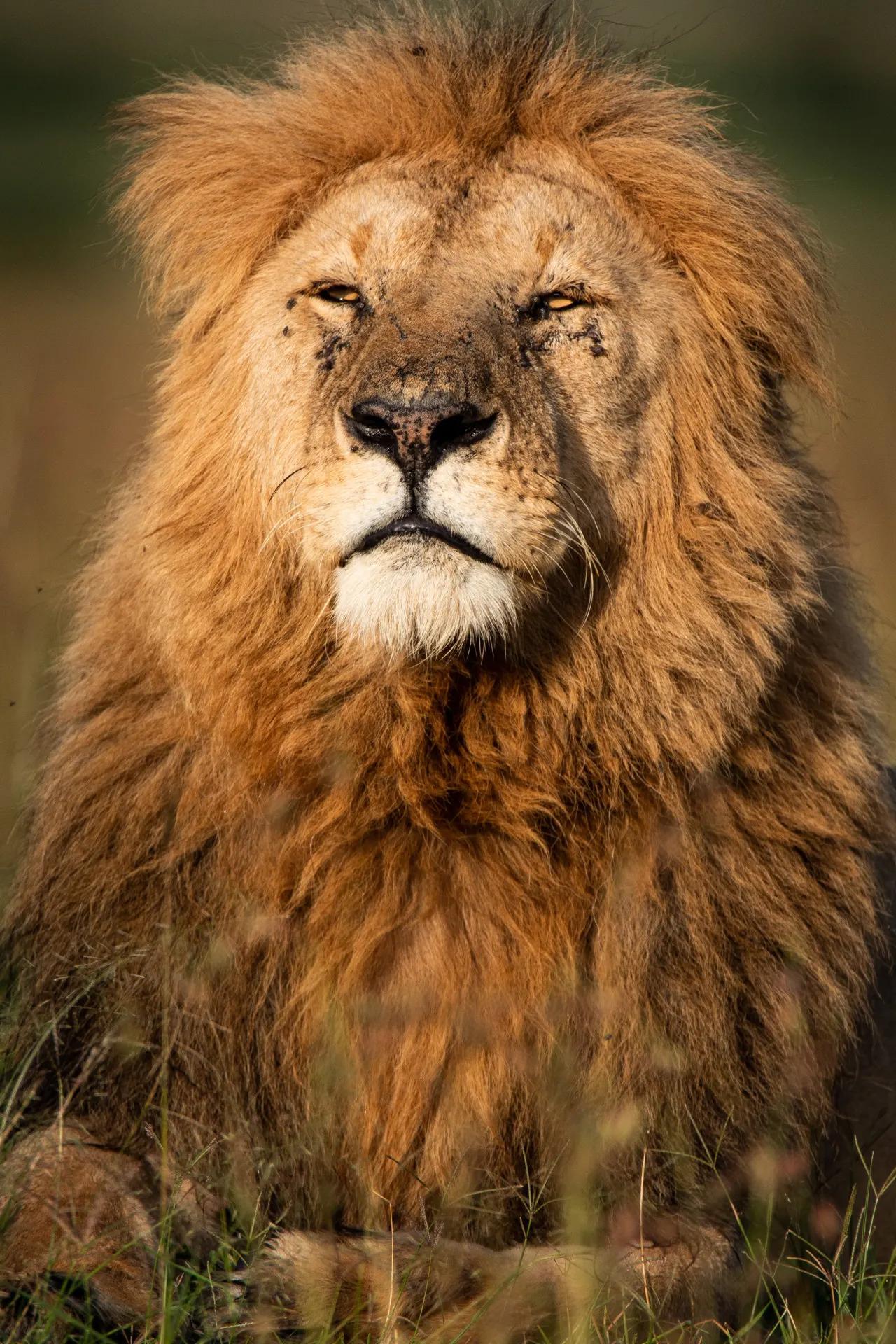 Fang Male Lion