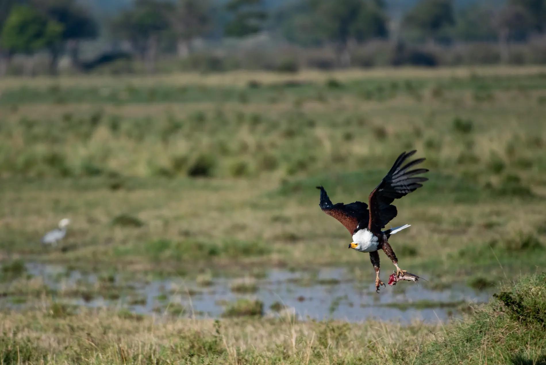 Fish Eagle 1