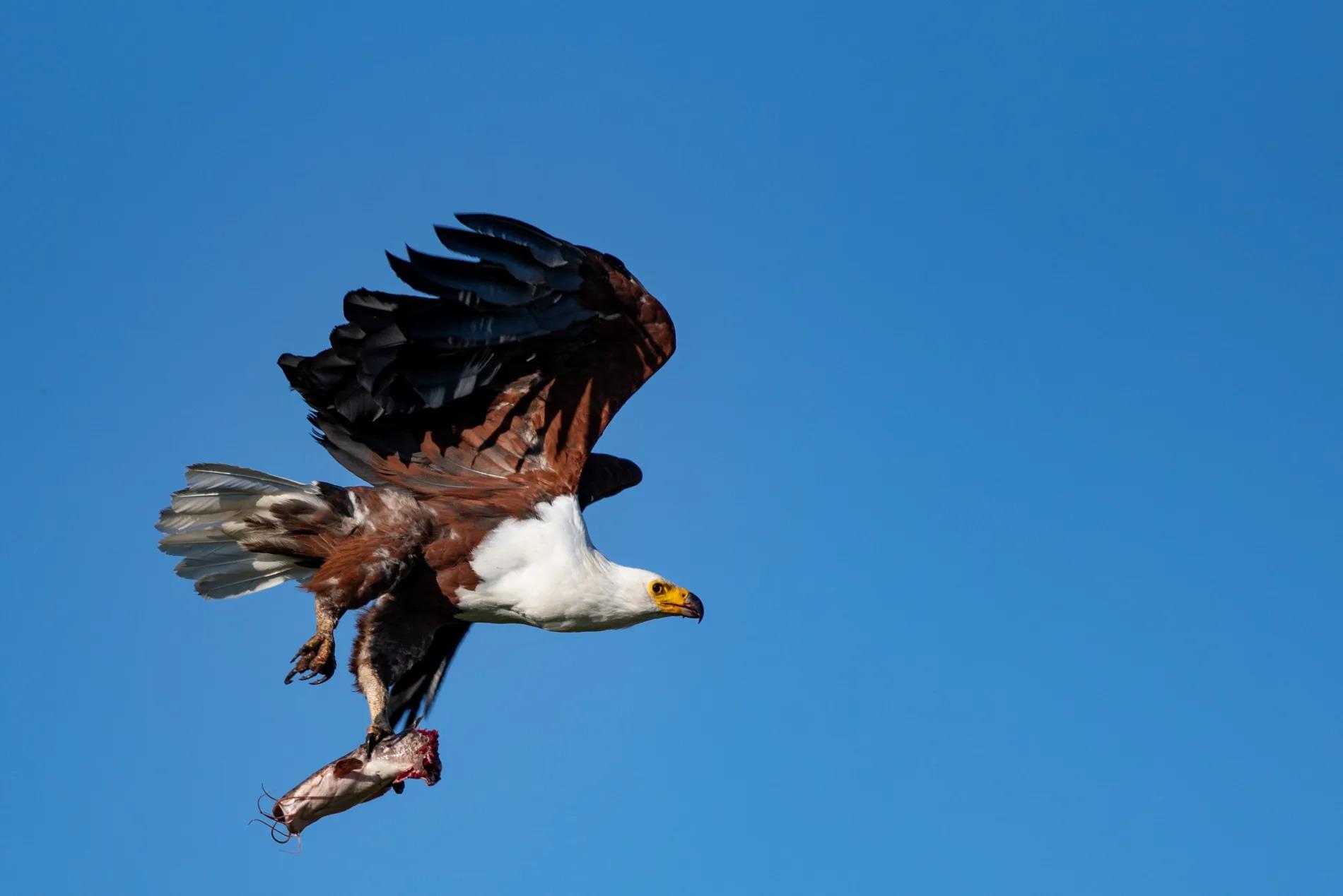 Fish Eagle 2