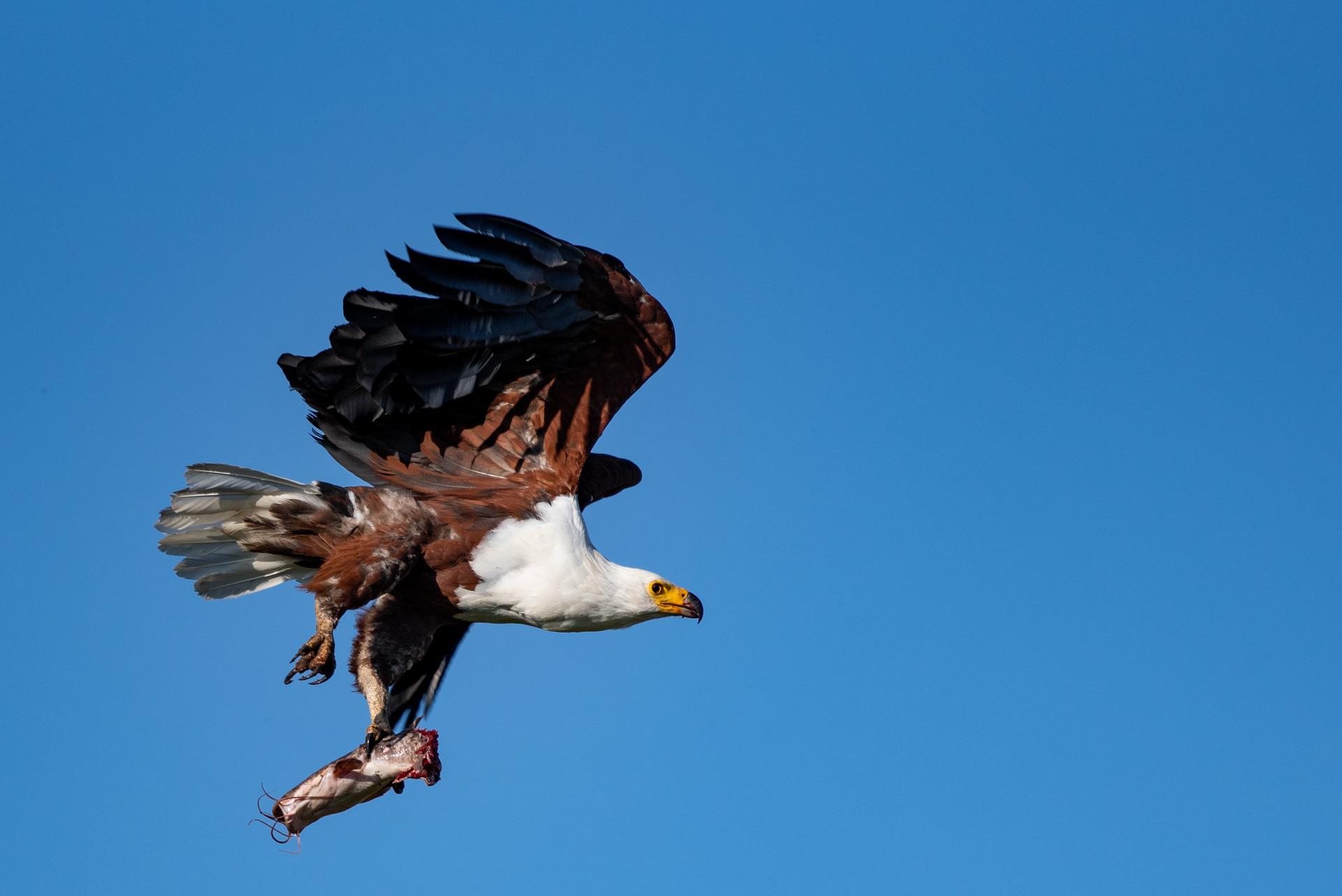 Fish-Eagle