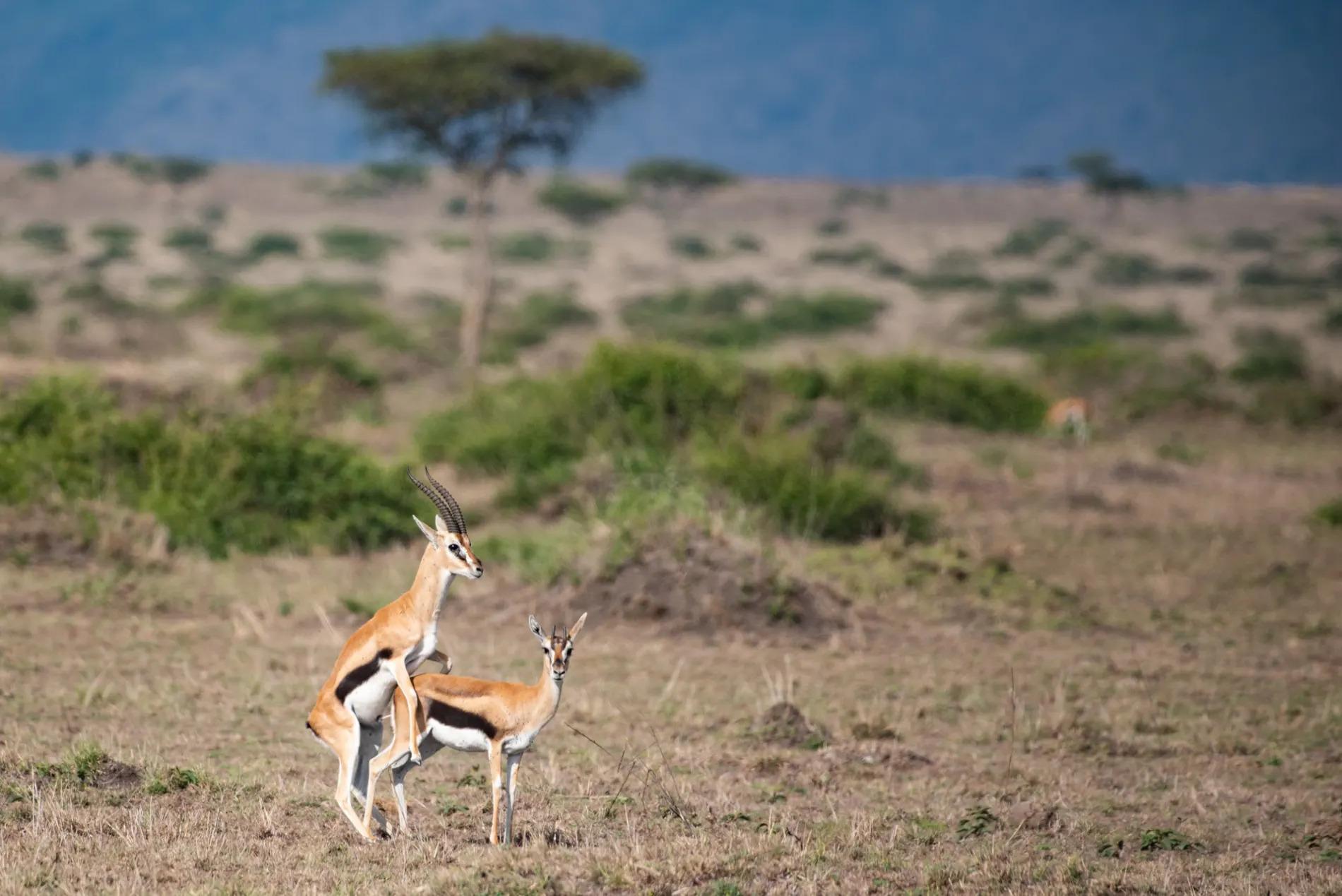 Gazelle mating
