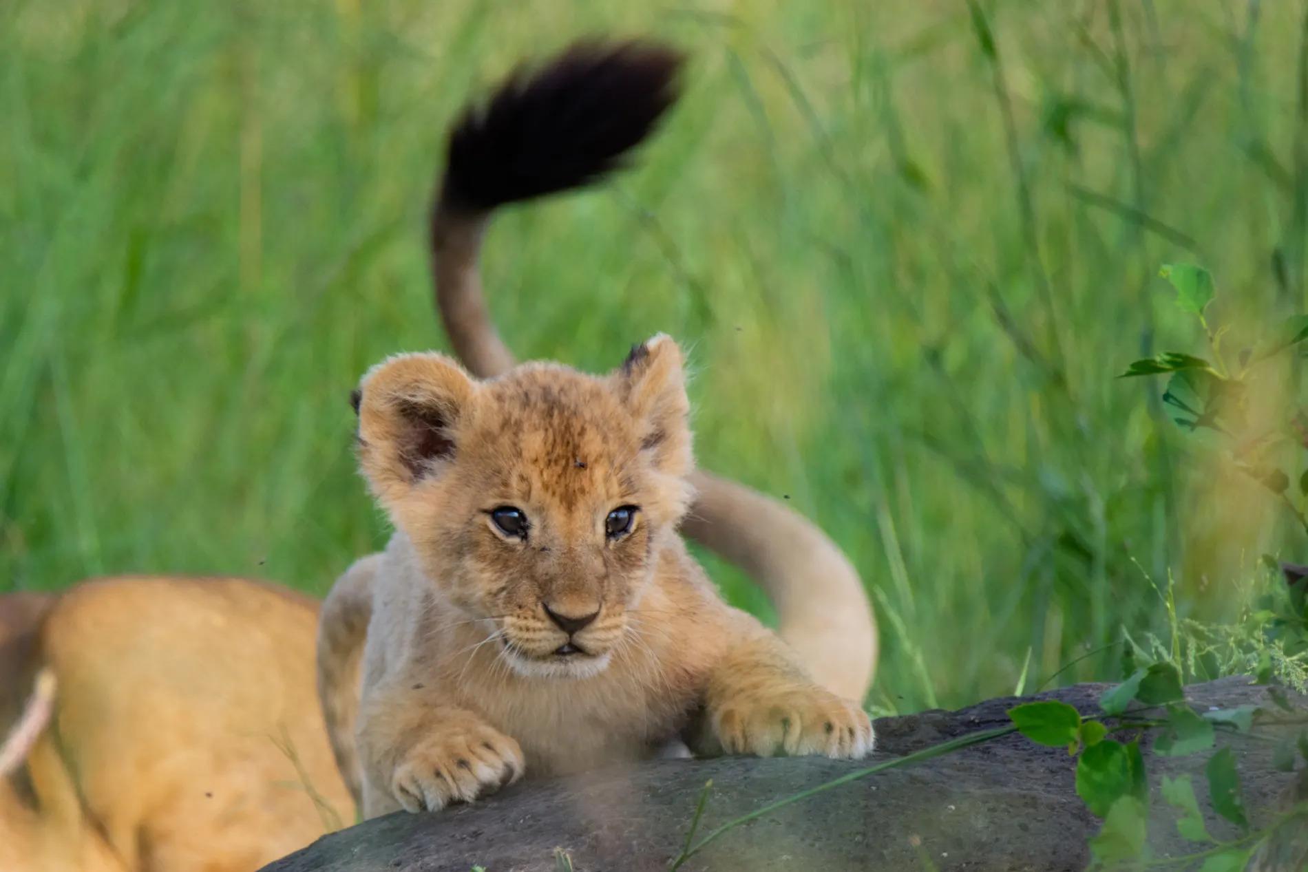 Lion Cub2