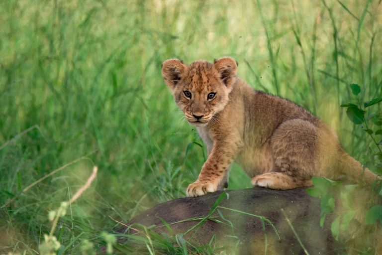 Lion Cub in the Mara