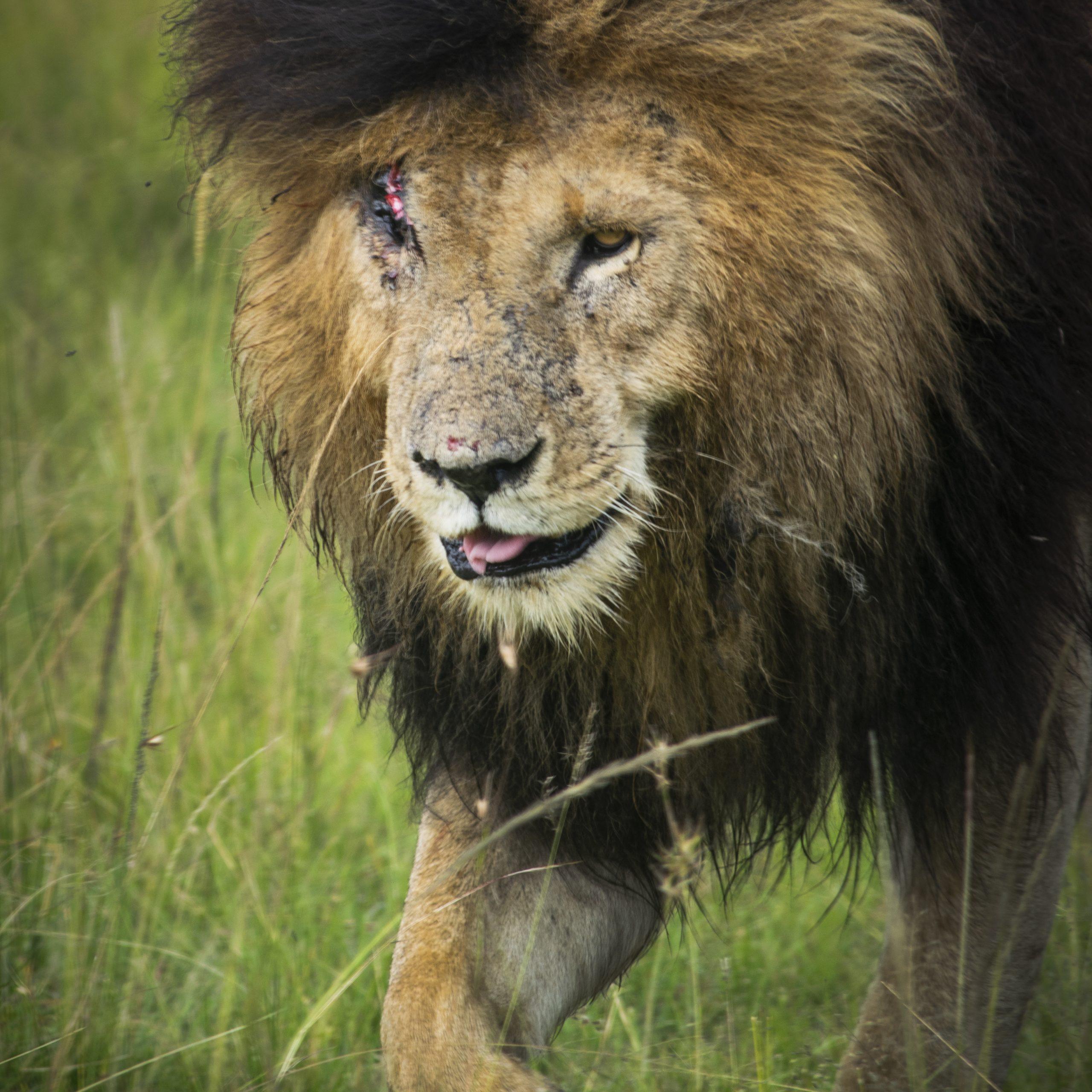Scar legendary lion maasai mara
