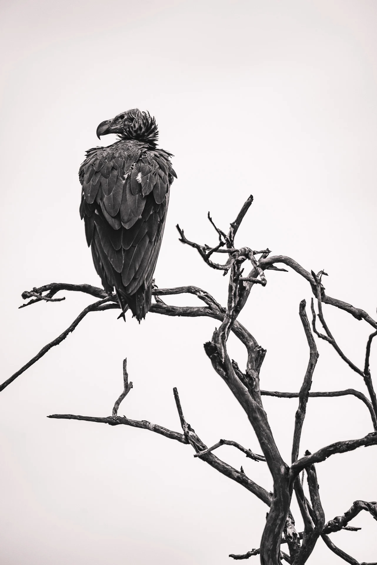 Vulture black and white