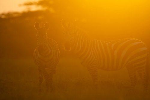Zebra in the golden hour glow
