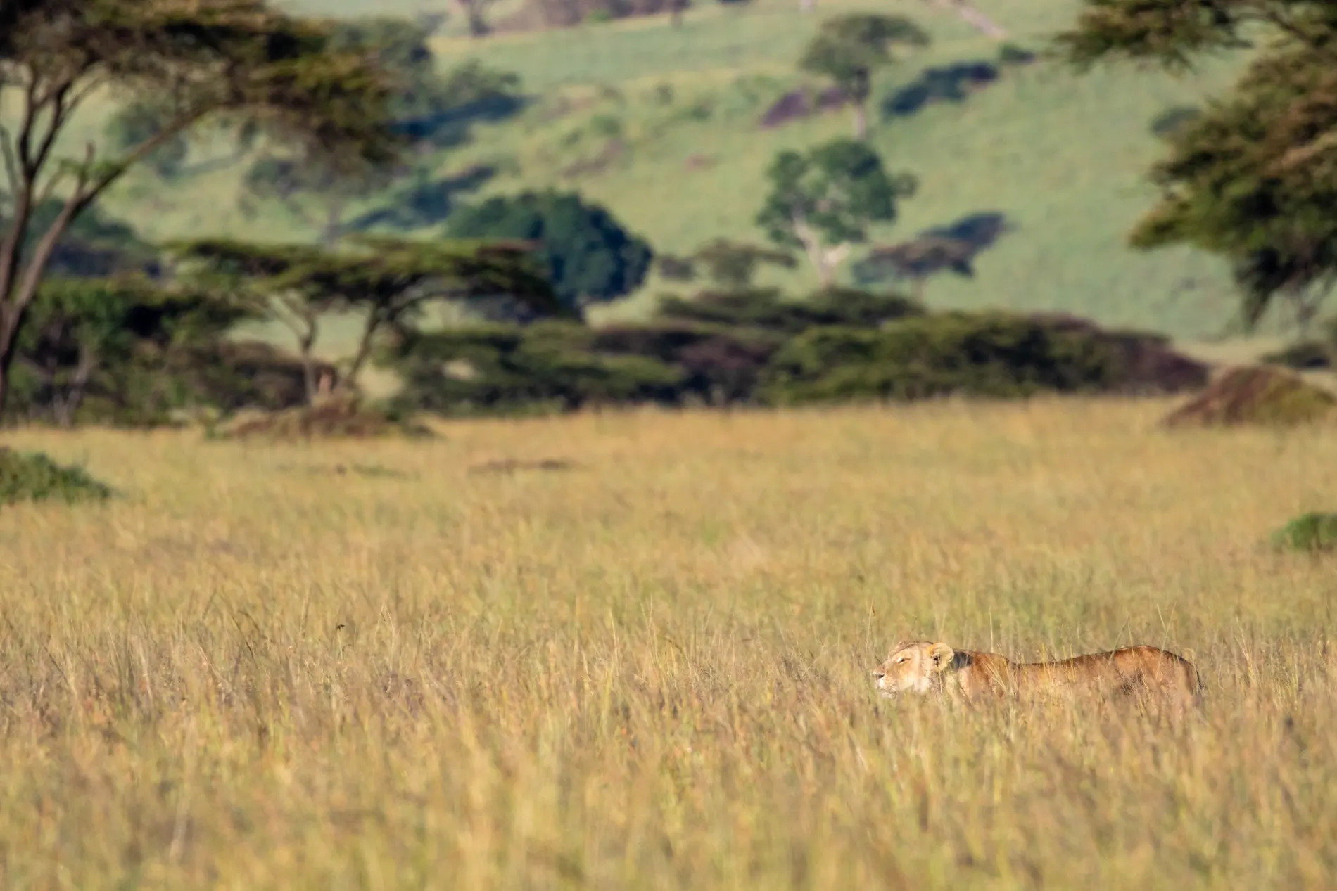 LION DANGER IN THE GRASS