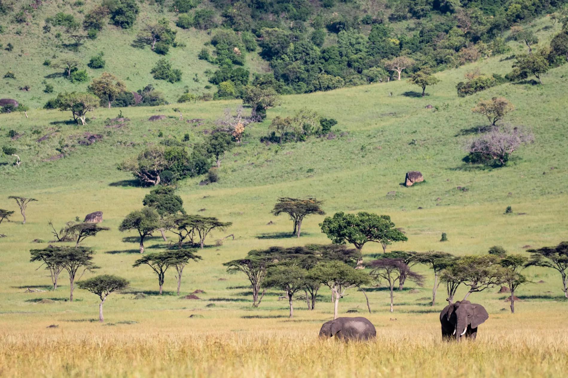 ELEPHANTS GRAZING 1