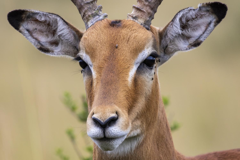 Impala Stag Portrait
