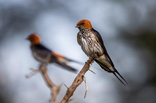 A pair of lesser striped swallows – Tyler Davis