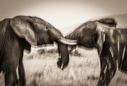 Elephants photographed with a slow shutterspeed – Jeff Thige