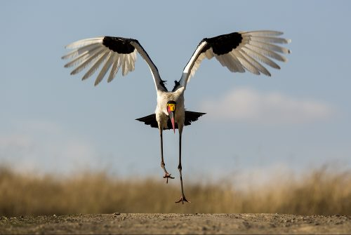 A saddle billed stork ready for take-off – Adam Bannister
