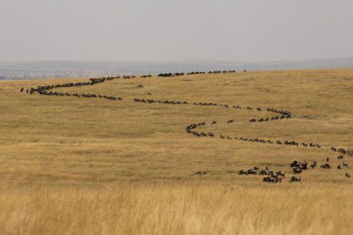 Migrating wildebeest weave through the Mara Triangle – Adam Bannister