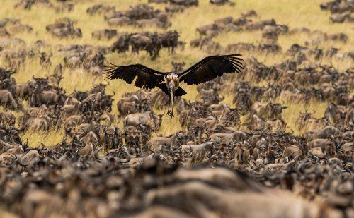 Marabou stork landing amidst the herds – Graham Wood