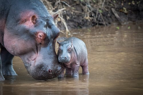 A newly born hippo with mother – James Fitzgerald