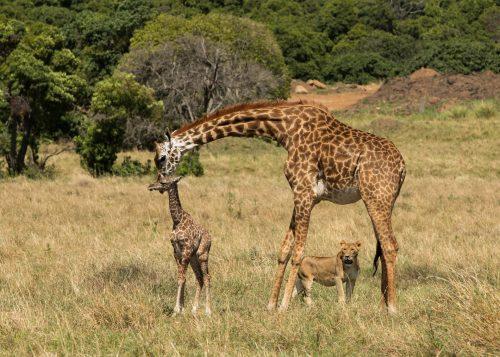 Mother giraffe protects her newborn – Adam Bannister
