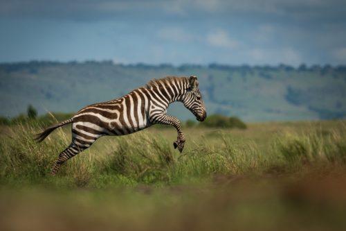 A jumpy young zebra – Adam Bannister