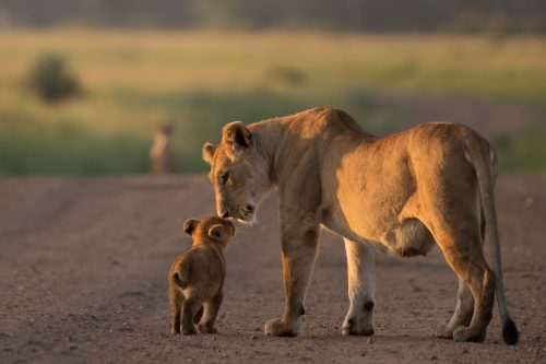 A lioness and her cub – Adam Bannister