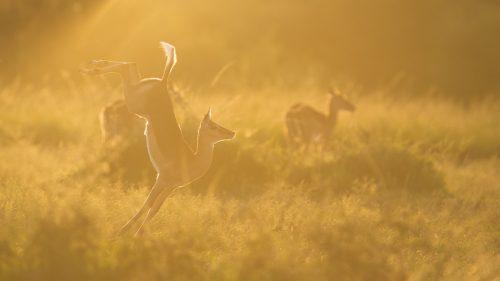 Impala jumping at sunrise – Adam Bannister