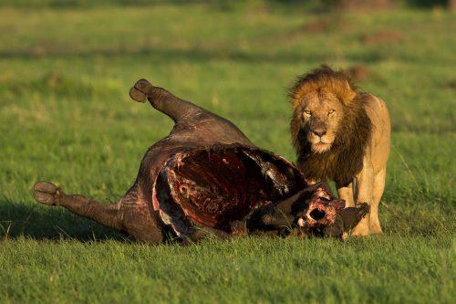Ol Donya male lion – Adam Bannister