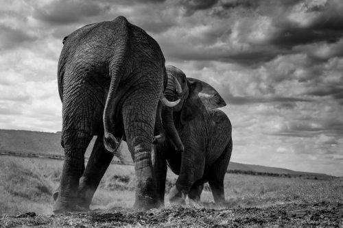 Elephants in black and white – Adam Bannister