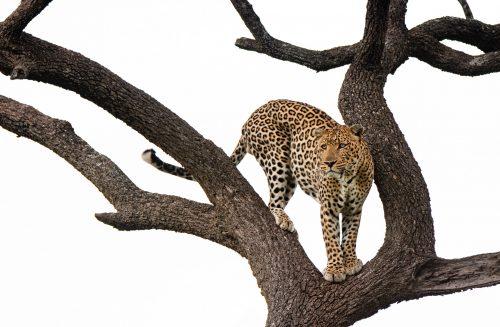 The Shepard Tree male – Jeff Thige