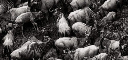 Wildebeest in black and white – Adam Bannister