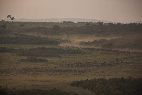 Wildebeest arriving by the thousand – Adam Bannister