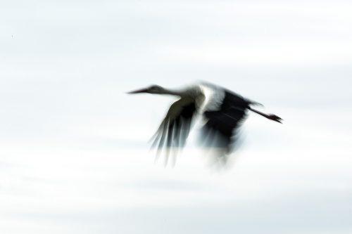 A panning shot of a white stork - Adam Bannister