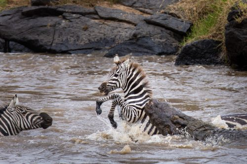 A zebra captured during a crossing – Jeff Thige