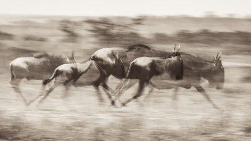 Wildebeest on the move – Adam Bannister