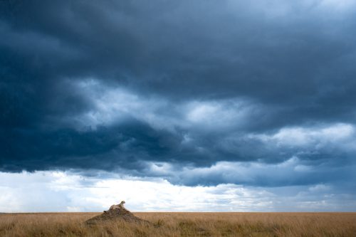 A cheetah surveys its territory on top of a termite mound – Jeff Thige