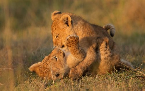 lion cubs playing – Adam Bannister