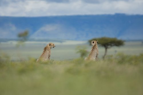 A pair of cheetah on the prowl – Adam Bannister
