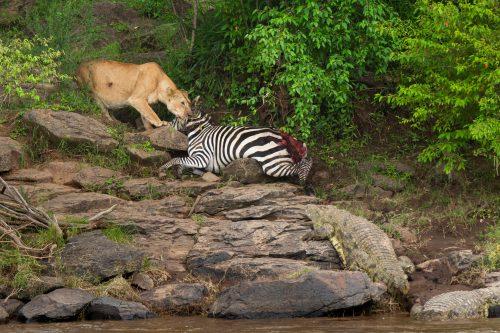 Zebra, lion and crocodile tug of war – Jeff Thige