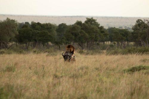 Male lion attacking a buffalo