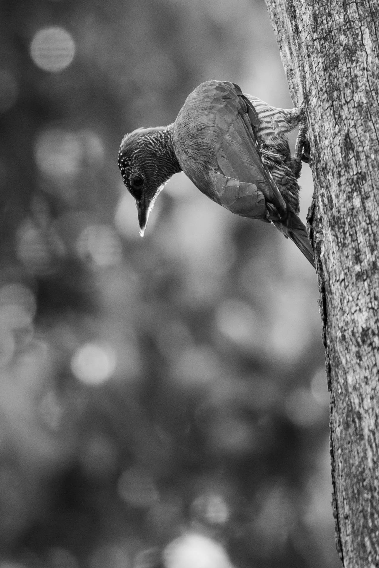 Tullberg's Woodpecker B&W