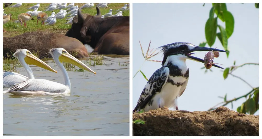 Pink-backed Pelican & Pied Kingfisher