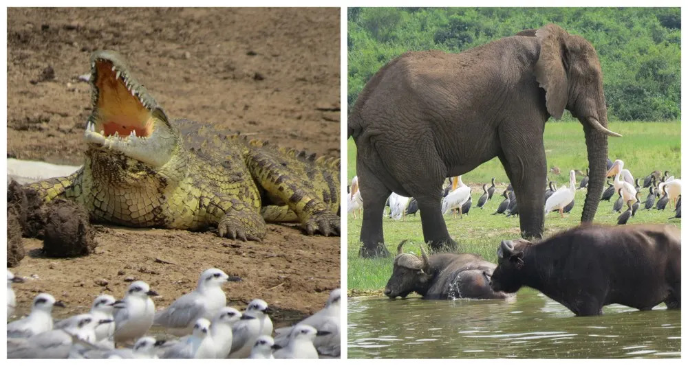Crocodile & Ellies on the banks of the river in Queen Elizabeth National Park